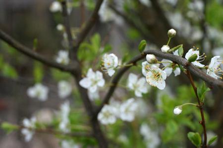 Santa Rosa plum tree 2.jpg