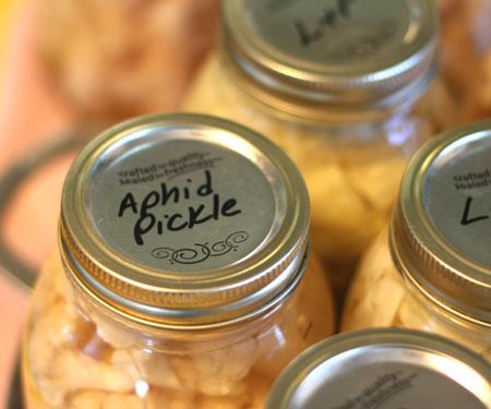 aphid pickle 2.jpg