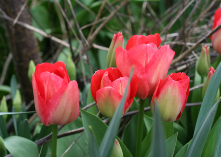gang of tulips 2.jpg