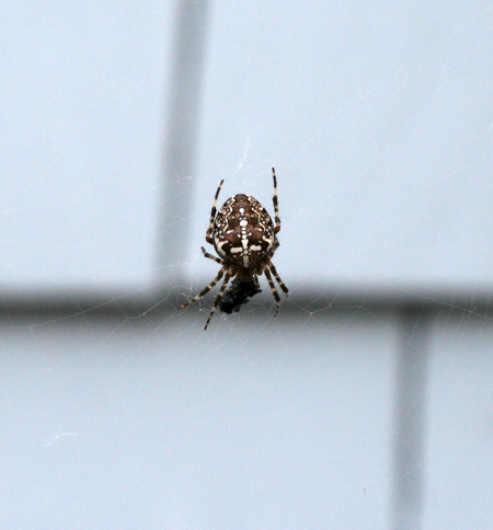 orb weaver out front 2.jpg