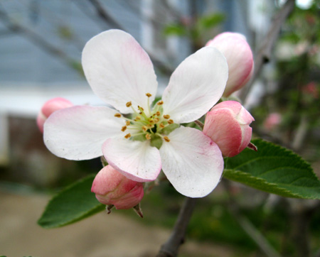 red rome apple blossom 2.jpg