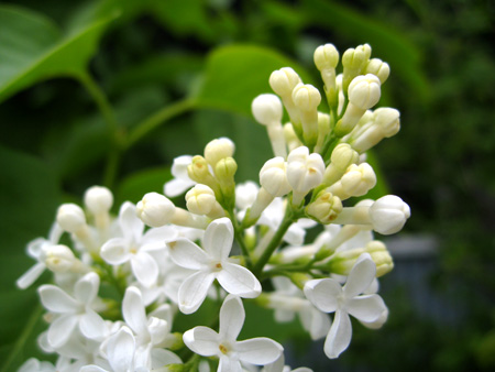 white lilac 2.jpg