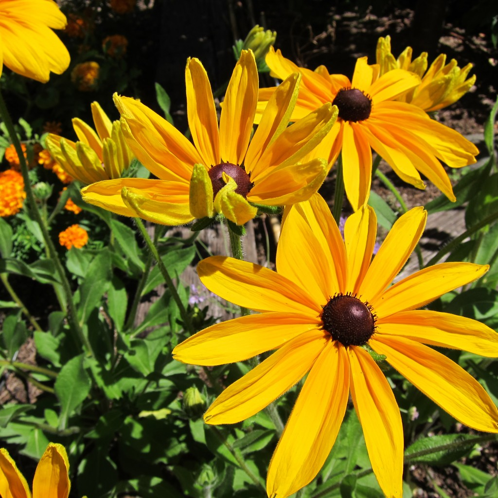 loving my rudbeckias