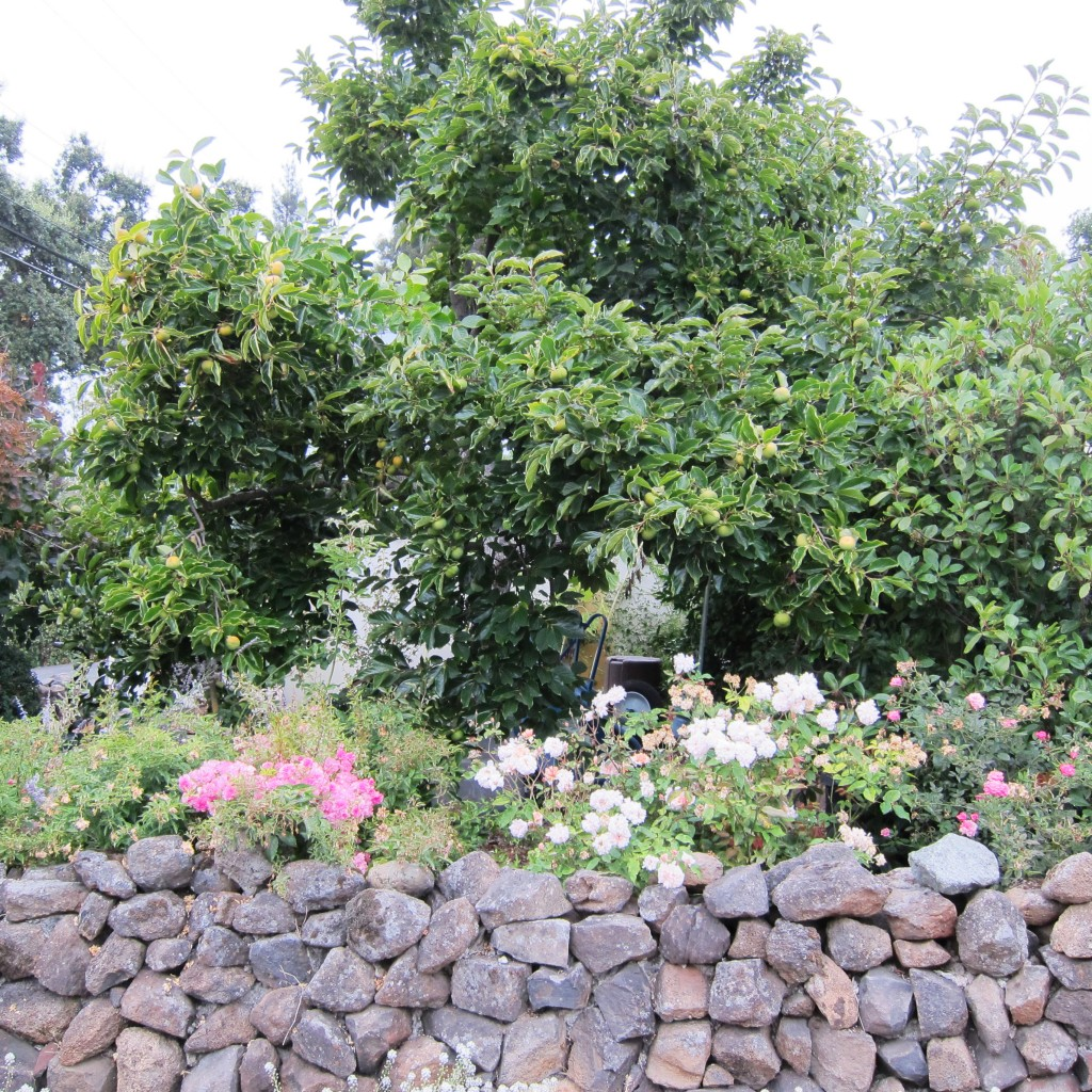 persimmons and rock wall