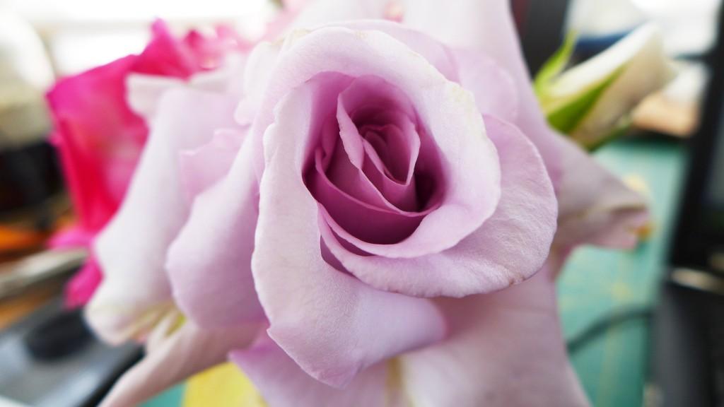 lagerfeld rose