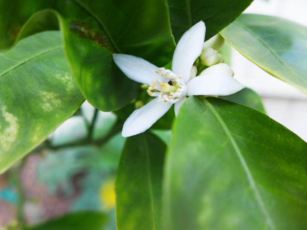 mandarin blossom